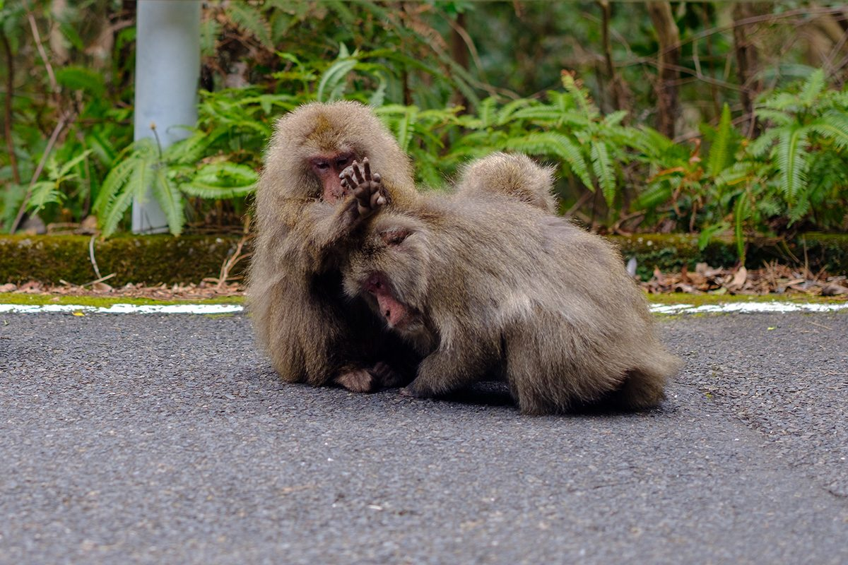 Monkeys of Yakushima