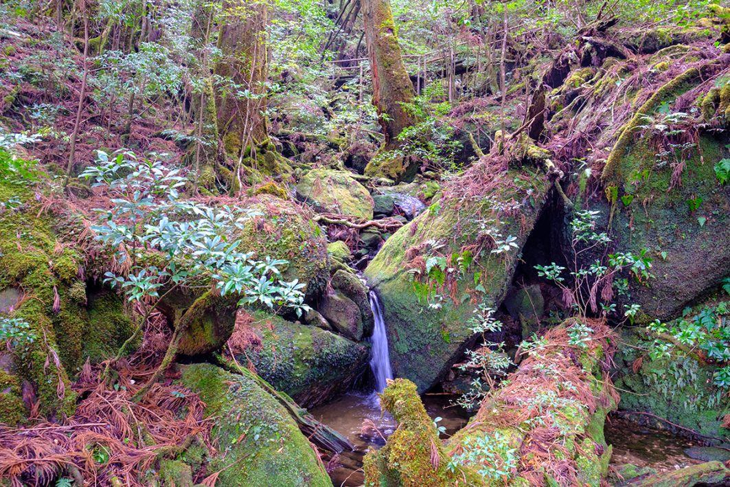 Books about Japan - Walking in Yakusugiland in Yakushima - the density of plant and tree population was quite high making me feel like swimming my way through the trees, such a great feeling