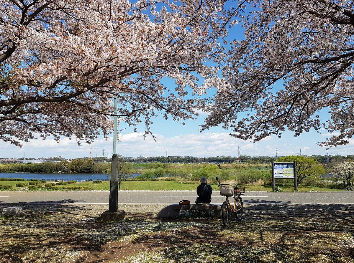 Cherrly Blossom in Katsushika