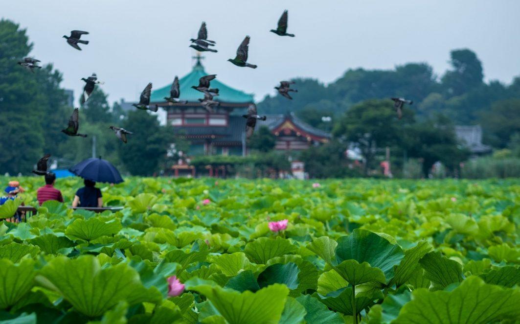 Lotus Flower in Ueno Park in Tokyo