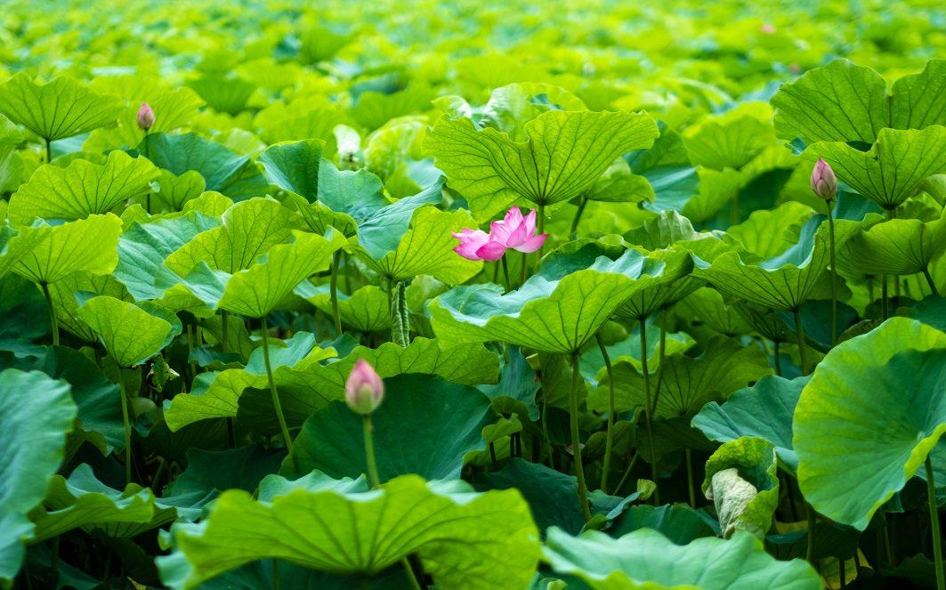 Lotus Flower in Tokyo Ueno Park