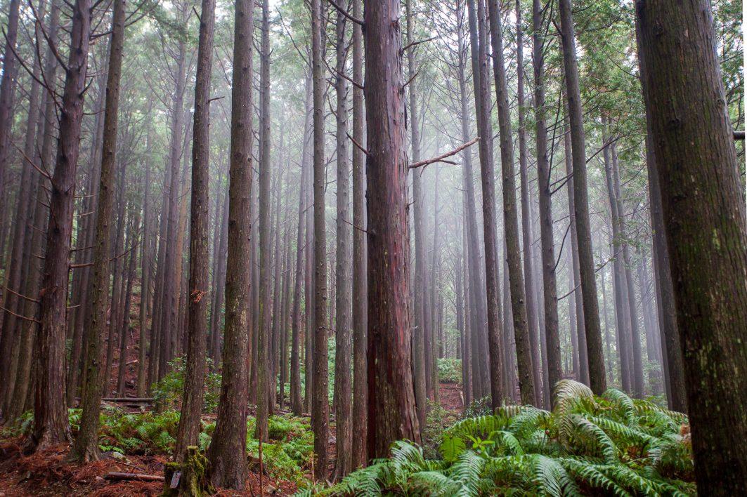 Foggy Forest Shikoku