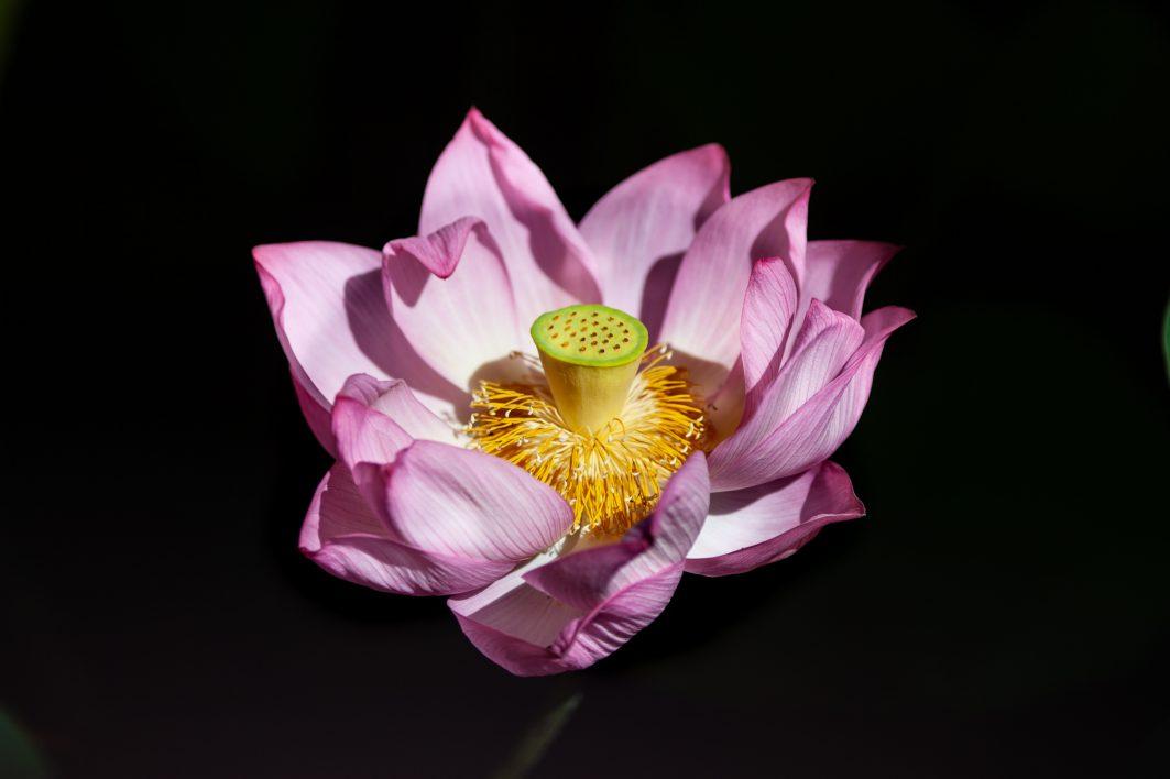 Lotus flower in Ueno Park